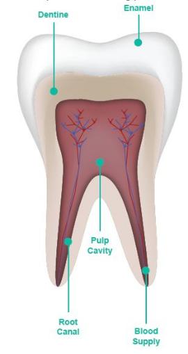 Root Canal Treatment - North Coast Dentist | Fresh Dental Care