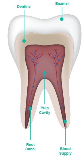 Root Canal Treatment - North Coast Dentist | Fresh Dental Care